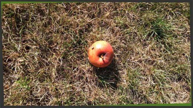 Apfelsorten Kreuzworträtsel