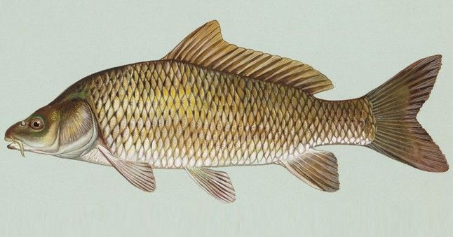 Eine von vielen Karpfenfisch-Arten: Der Schuppenkarpfen.